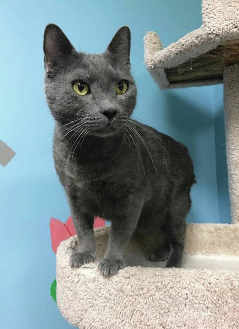 Submitted photo Titan is a 4-year-old male domestic short-haired cat. Titan is a big boy weighing in at 16 pounds. He is very friendly and loves being held. Titan likes to play with his friends at Greene County Animal Control and would love another furry friend at his new home.