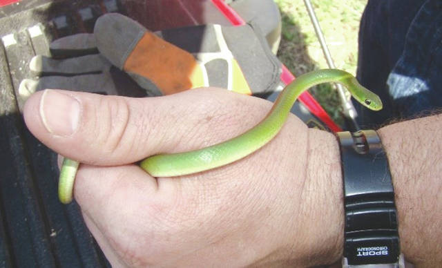 Submitted photo This Smooth Green Snake was found on base during an environmental survey in 2010. The survey team said it was the first documented SGS here since 1871.